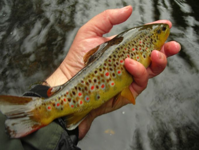 The devon angling association brown trout sea trout and for Trout fishing new mexico map